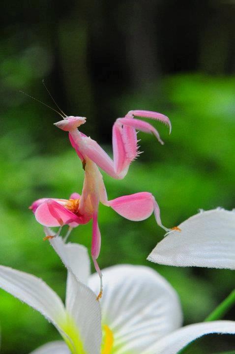 hymenopus-coronatus-orchid-mantis.jpg