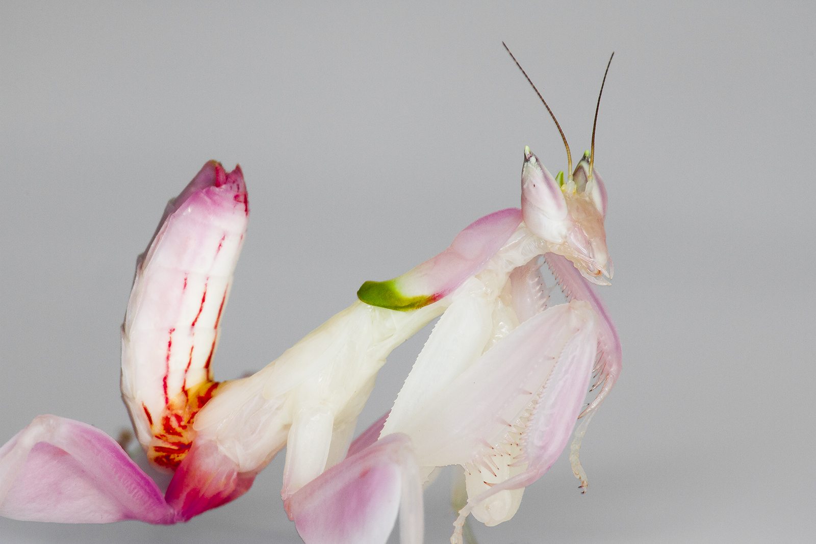 Insectstore Buy Orchid Praying Mantis Ootheca Live Insects